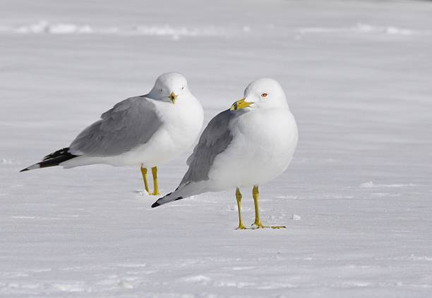 gulls in the snow stock photo