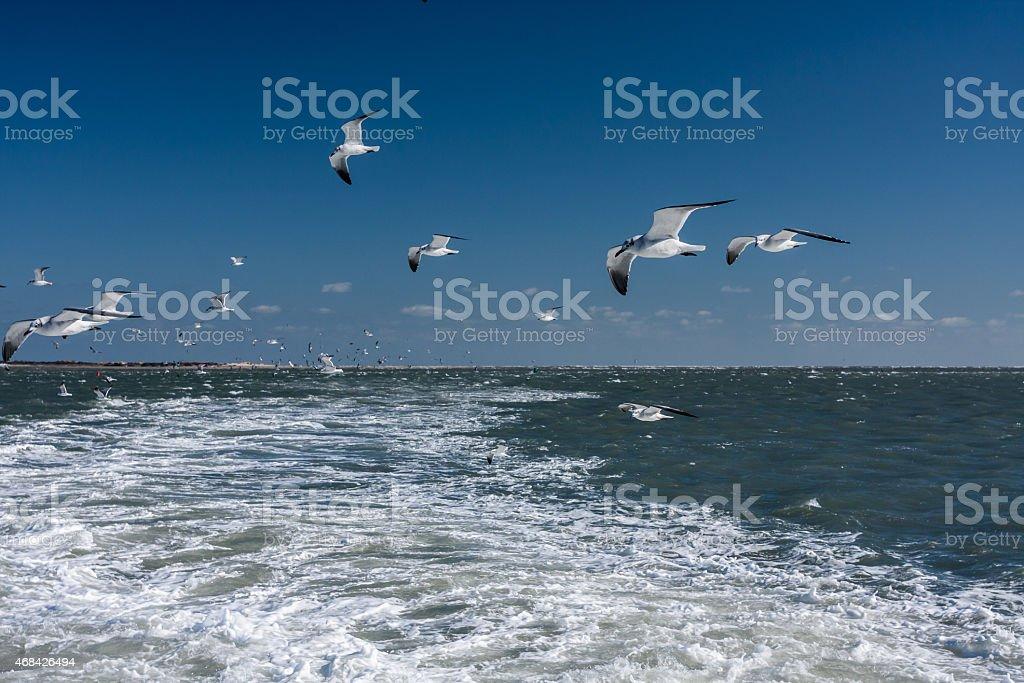 Gulls in Wake of Ferry stock photo