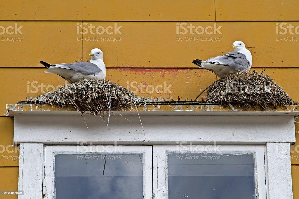 Gulls nest on the windowsill stock photo