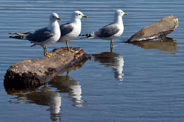 Gulls on a log stock photo