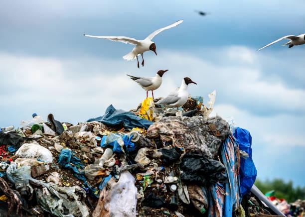 gulls on garbage dumps - desperdício alimentar imagens e fotografias de stock