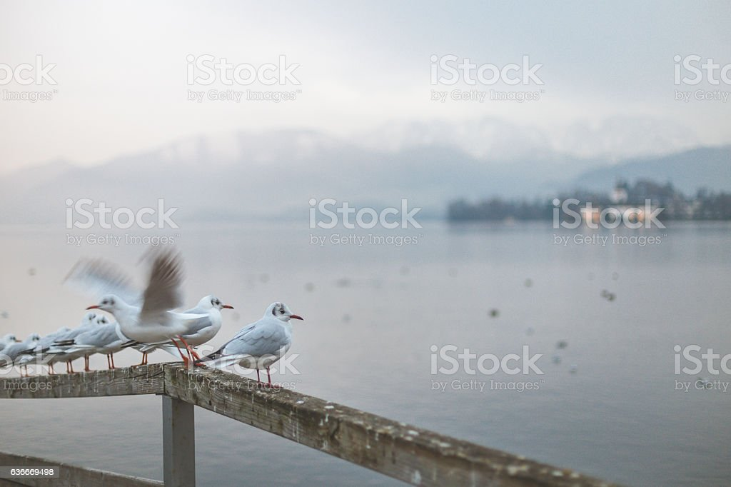 gulls on the fence stock photo