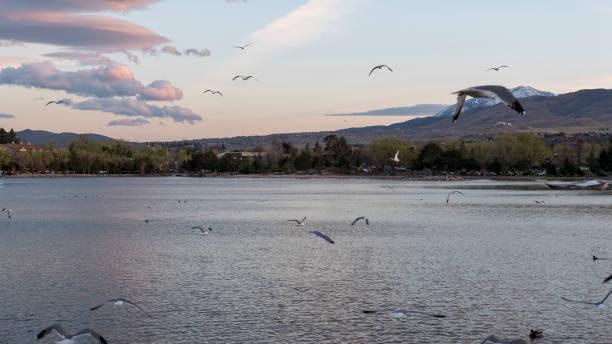 Gulls soaring on Viginia Lake in Reno Nevada stock photo