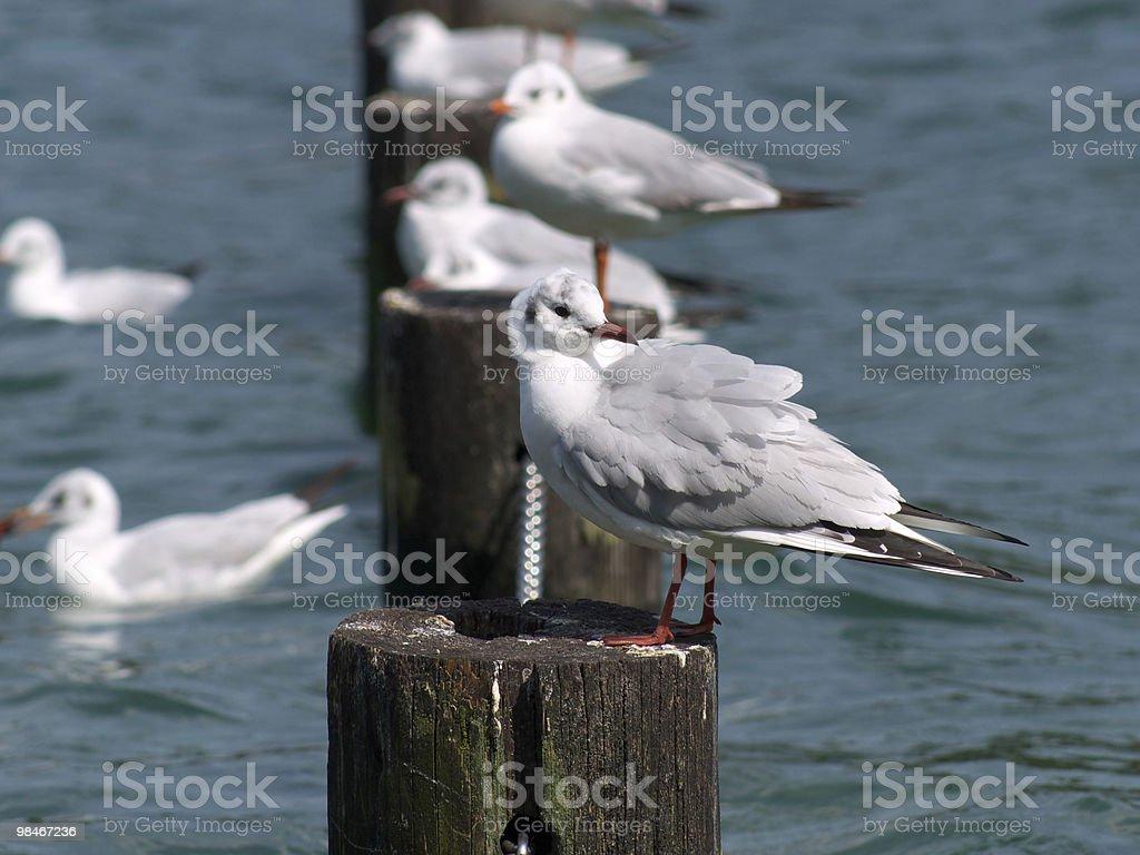 Gulls standing on the stump royalty-free stock photo