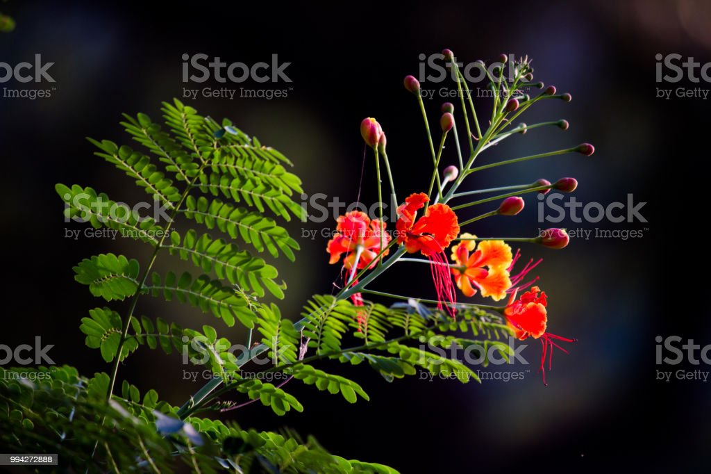 Gulmohar Flower stock photo