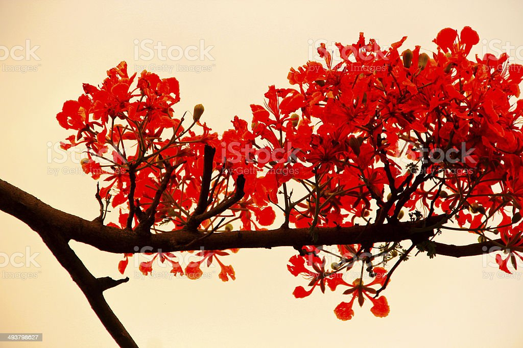 Gulmohar or Delonix regia flower stock photo