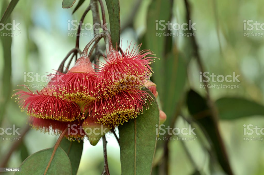 Gum blossoms royalty-free stock photo