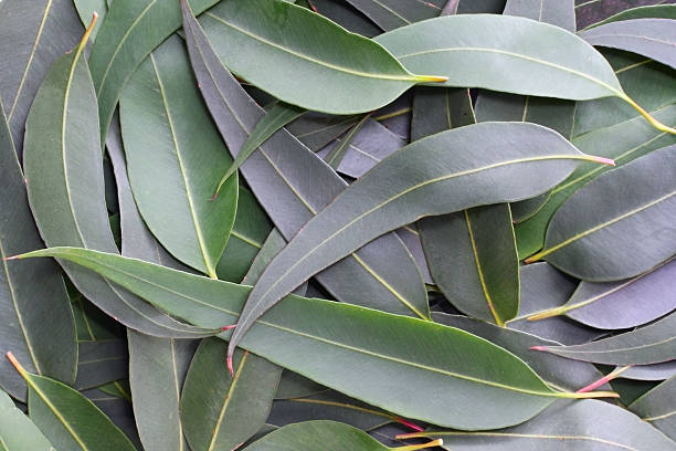 gum leaf background - eucalyptus tree stock photos and pictures