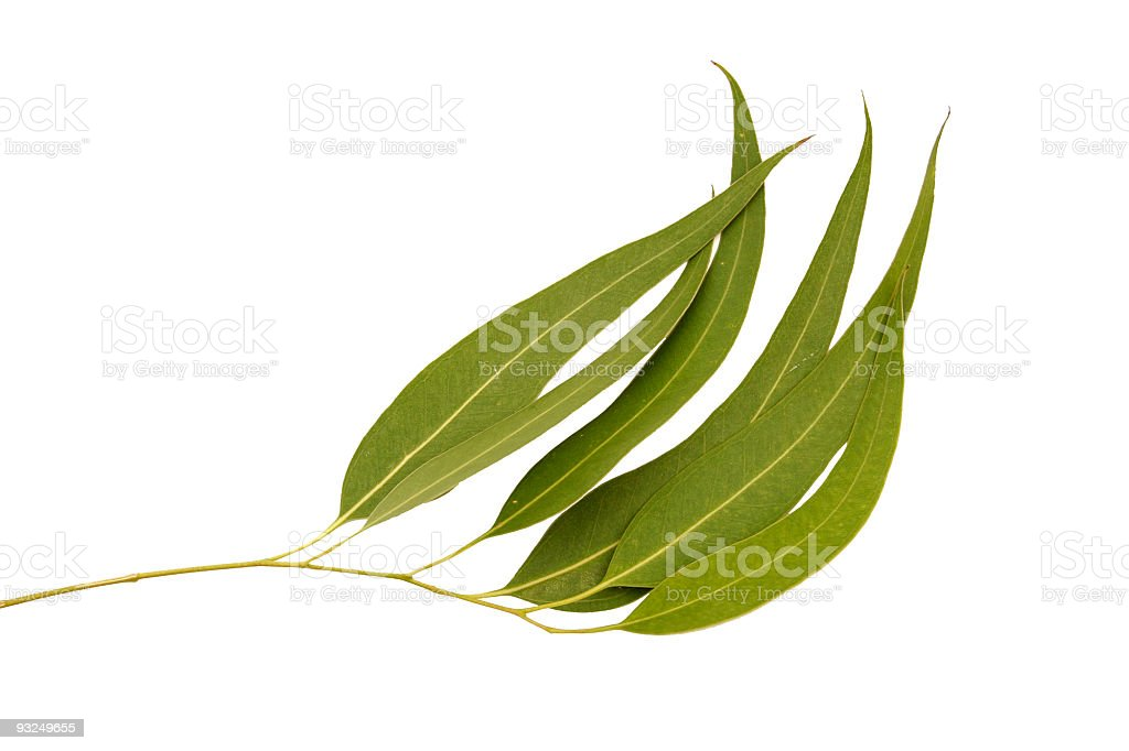 Gum Leaf branch royalty-free stock photo