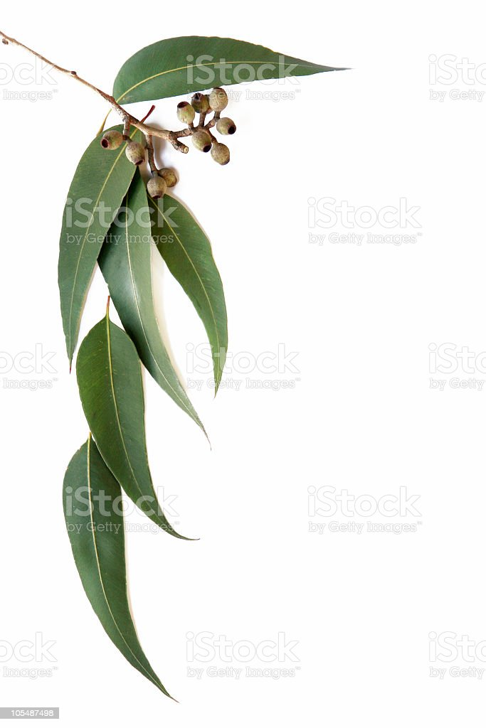Gum leaves and gum nuts on white background stock photo