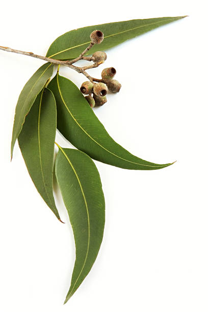 diversity and distribution of eucalyptus essay The australian journal of botany is an international journal diversity of terpenes of eucalyptus in geographical structure in their distribution.