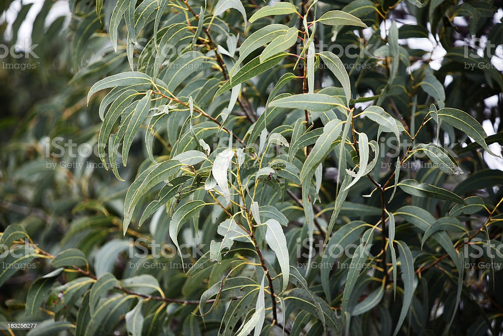 Gum Leaves royalty-free stock photo