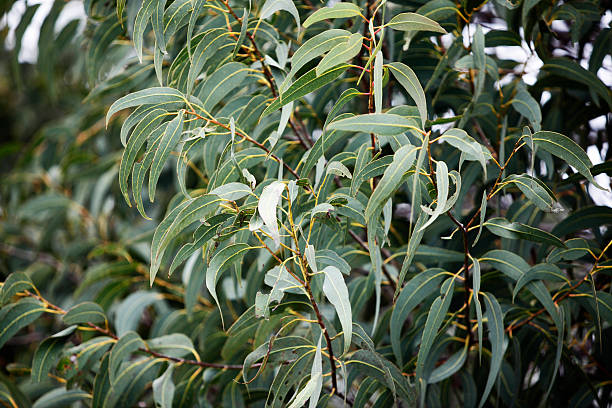 gum leaves - eucalyptus tree stock photos and pictures