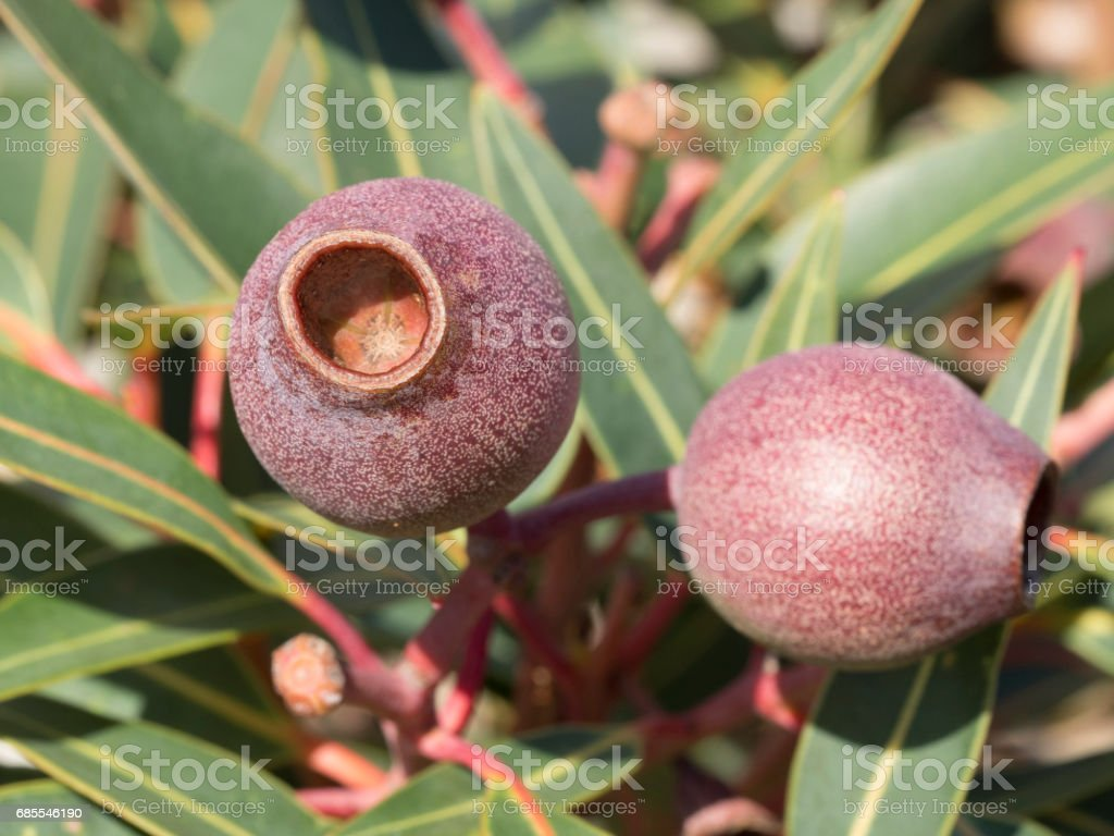 Gum nuts 免版稅 stock photo
