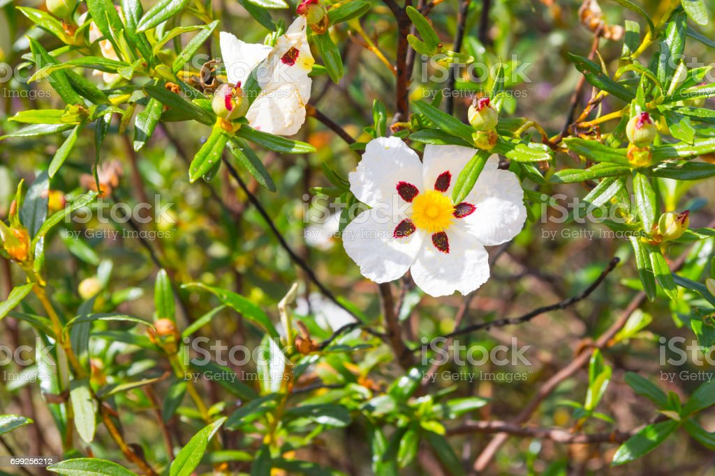 Gum Rockrose or Esteva flower in Santiago do Cacem stock photo