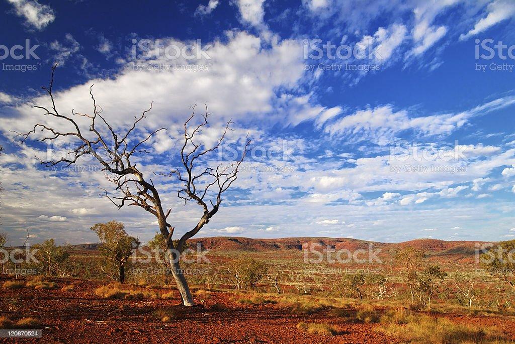 Gum Tree in Karijini stock photo