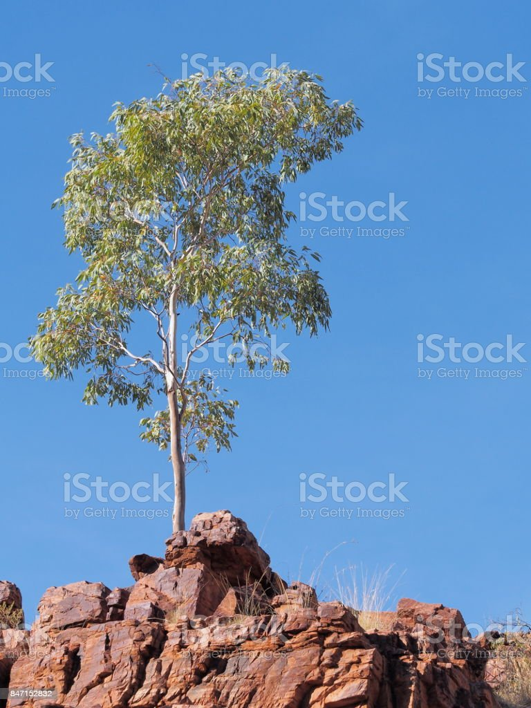 Gum tree on the cliff of Trephina Gorge in the late afternoon sun stock photo