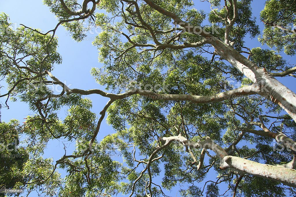 Gum Tree royalty-free stock photo