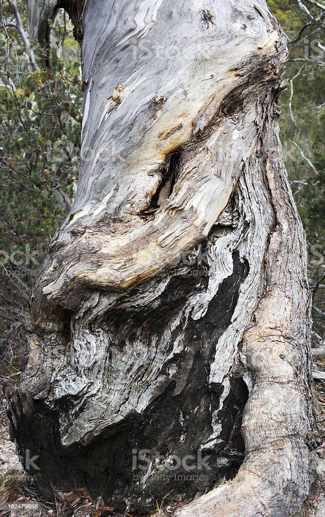 gum tree (eucalyptus) royalty-free stock photo