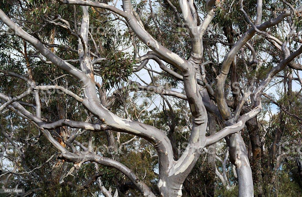 Gum Tree stock photo