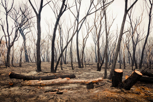 Gum trees burnt by bushfire in The Blue Mountains in Australia stock photo