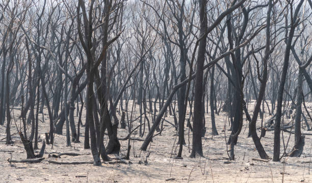Gum trees burnt in the bushfires in The Blue Mountains in Australia stock photo