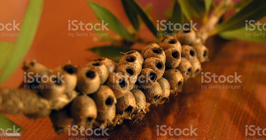 Gumnuts - Close Up royalty-free stock photo