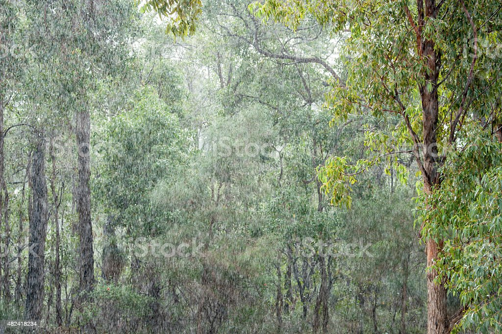 Gumtrees in the Pouring Rain stock photo