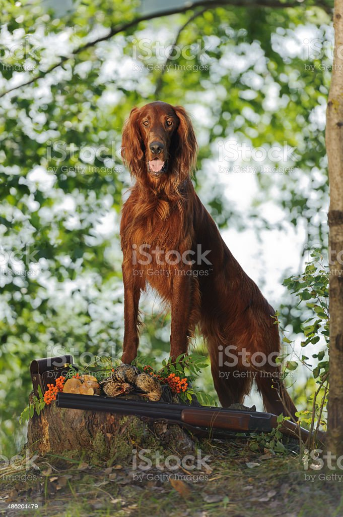 Gun dog near to trophies, vertical, outdoors royalty-free stock photo