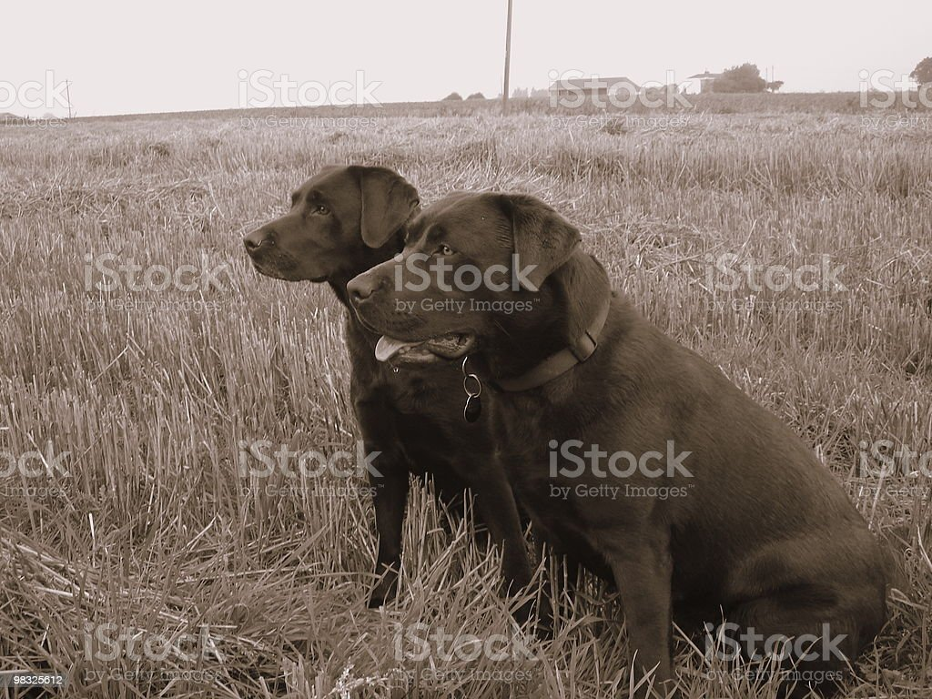Pistola cani foto stock royalty-free