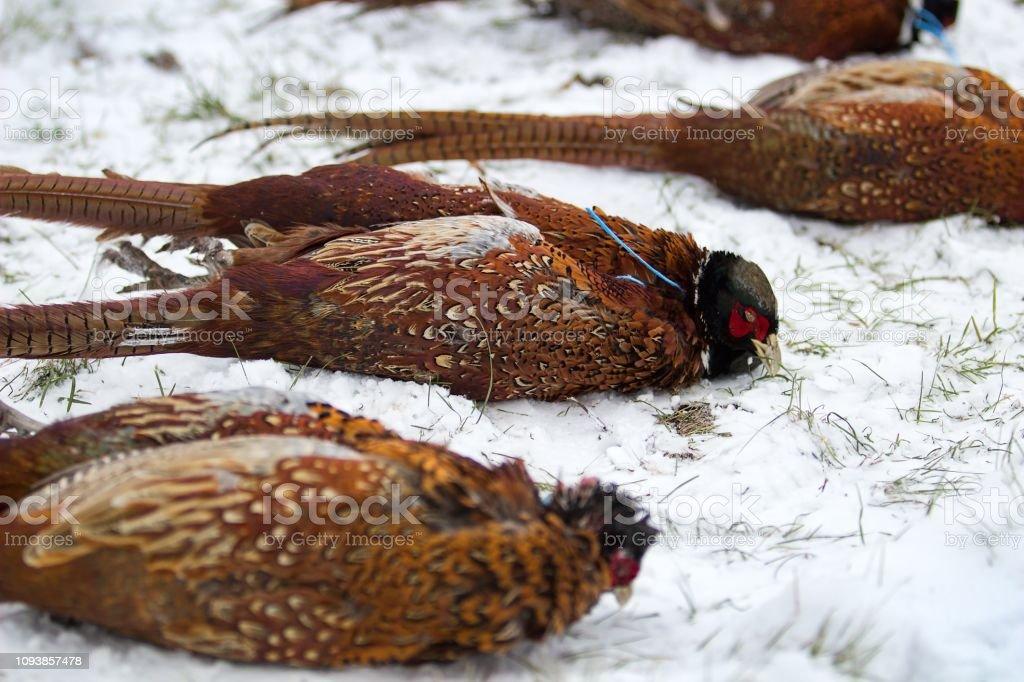 gun downed pheasants stock photo