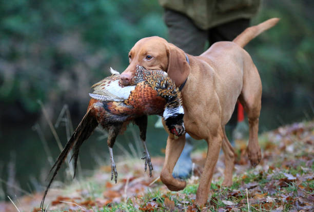 Gun-dog carrying dead pheasant a gun dog carries a dead pheasant in its mouth in a countryside setting, with autumn leaves on the ground working animal stock pictures, royalty-free photos & images