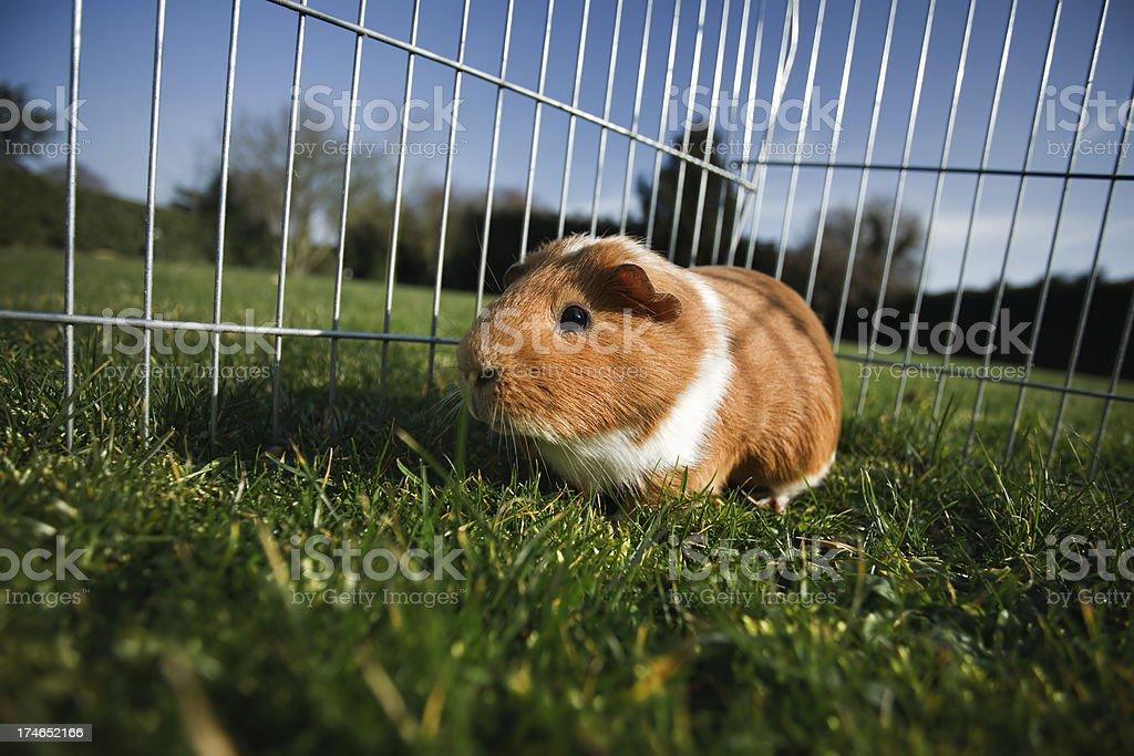 Guniea pig on grass stock photo