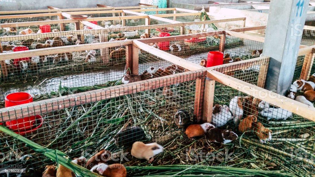 Guniea pigs in Lima - Peru stock photo