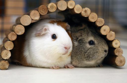 Two baby guinea pigs cuddling under shelter bridge