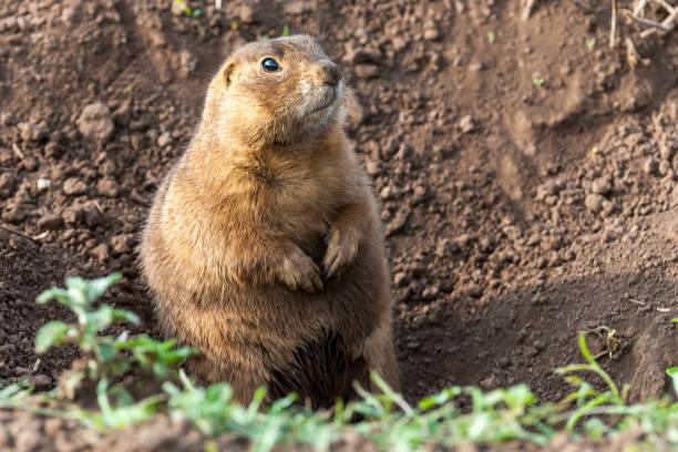 Gunnison's Prairie Dog stock photo