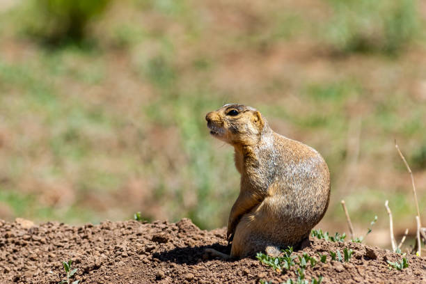"""Gunnison's Prairie Dog Standing by a Burrow The Gunnison's Prairie Dog (Cynomys gunnisoni) is a rodent and member of the squirrel family.  They are primarily distributed in the Four Corners region of Utah, Colorado, New Mexico and Arizona.  Their coats are light brown mixed with black-colored hairs. The top of the head, cheeks, and eyebrows are darker than the rest of the body. The tail is mostly white.  The prairie dog's eyes are on the sides of the head to give them wide peripheral vision to more easily spot predators.  The Gunnison's prairie dog typically feeds during the day on grasses, herbs, and leaves.  In the spring, they feed on newly grown shrubs.  In the summer they mainly consume seeds.  Prairie dog habitat includes meadows, grasslands, high desert and floodplains. They are often found in areas of rabbitbrush, sagebrush, and saltbrush.  Gunnison's prairie dogs live in large colonies of up to several hundred.  They are more active in the early morning and late afternoon especially during hot weather.  When the temperatures are cooler, they become more active throughout the day. When it rains or snows, the prairie dog will spend its time underground.  When they are above ground, they feed, make social contact, look out for predators, groom and dig their burrows.  During the winter, the Gunnison's prairie dog hibernates for long periods of time without food or water, instead relying on stored fat and physiological adaptations to slow their metabolism.  After hibernation, they become active from April through October.  The Gunnison's prairie dog has a complex system of vocal communication.  Their bark is a combination of high-pitched syllables to identify various predators.  They also have different sounds for an """"all-clear"""" signal.  There may be up to 11 distinct warning calls used by the prairie dog.  This Gunnison's prairie dog was photographed in a prairie dog colony by Walnut Canyon Lakes in Flagstaff, Arizona, USA. jeff goulden stock pictures, royalty-"""
