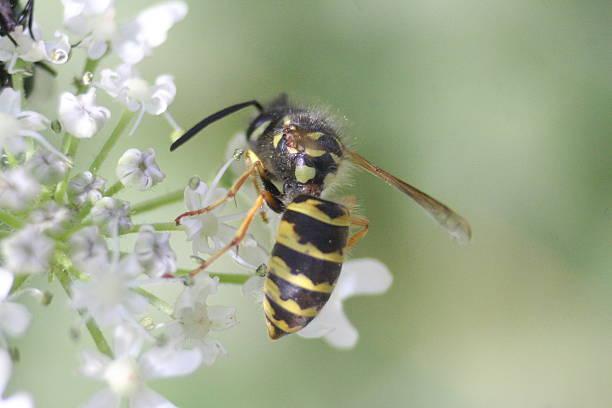 comunhão guêpe (vespula vulgaris - vespa comum - fotografias e filmes do acervo