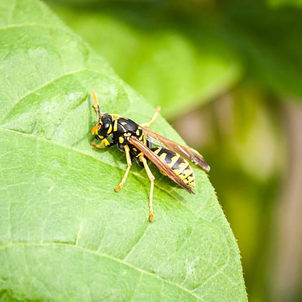 guêpe sur une feuille - vespa comum - fotografias e filmes do acervo