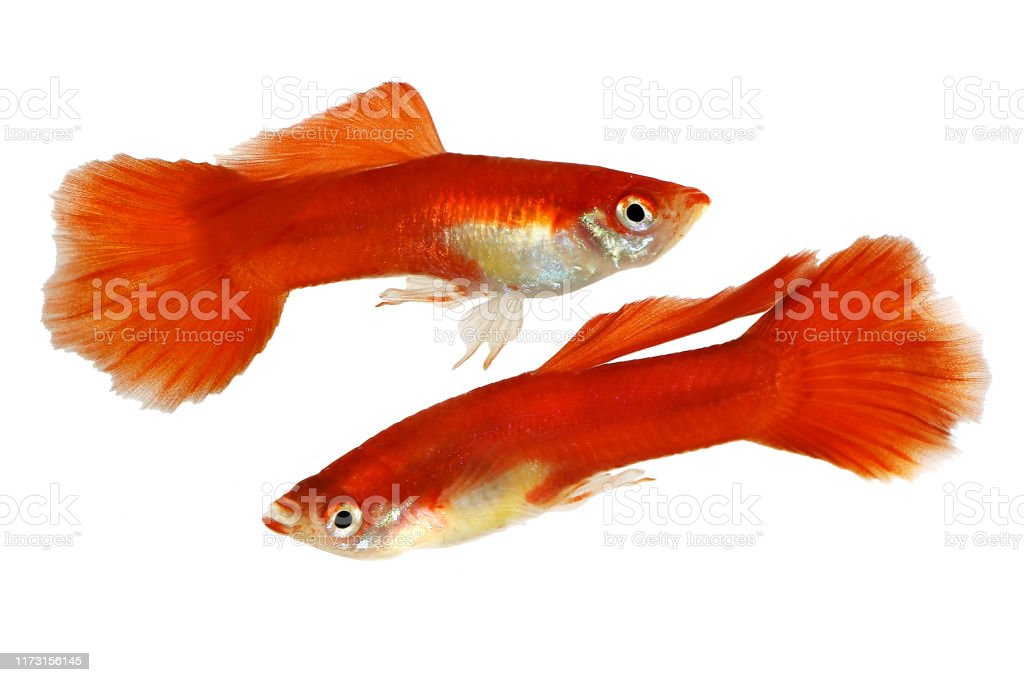 Guppy Fish Aquarium Fish Poecilia Reticulata Colorful Rainbow Tropical Stock Photo Download Image Now Istock