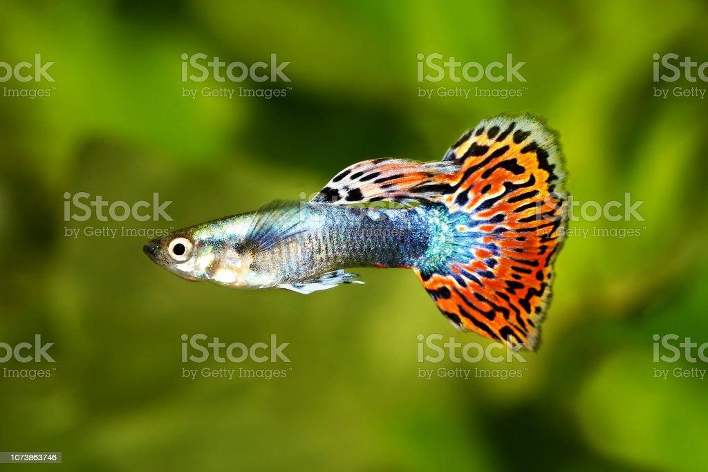 Guppy Poecilia Reticulata Colorful Rainbow Tropical Aquarium Fish Stock Photo Download Image Now Istock