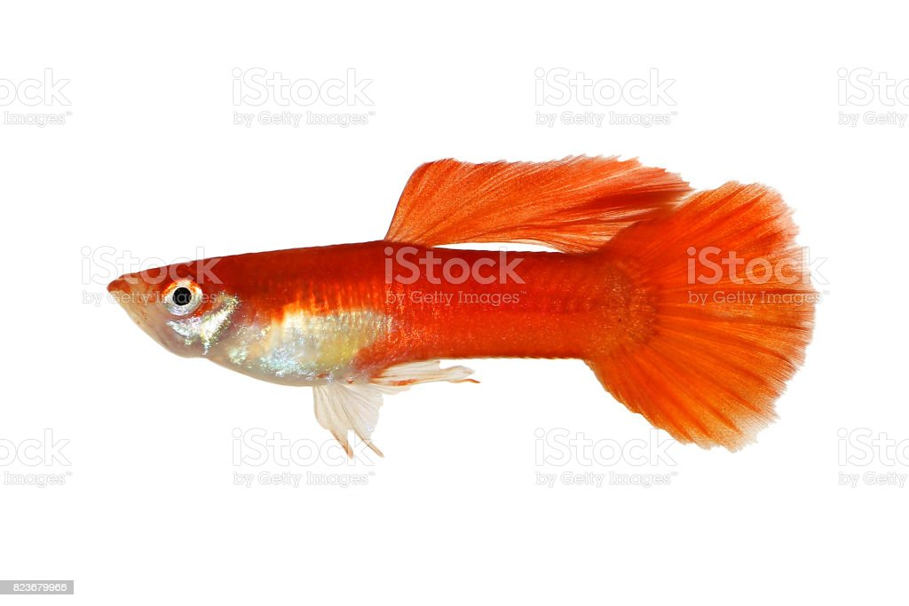 Guppy Red Poecilia Reticulata Colorful Rainbow Tropical Aquarium Fish Stock Photo Download Image Now Istock