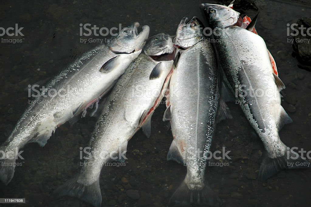 Gutted Alaskan  King Salmon laying in the water,Anchorage. stock photo