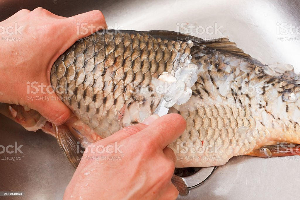 Gutting of freshly caught fish carp stock photo