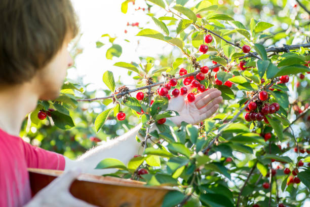 guy tears ripe red cherries from the tree to the basket. Cherry Harvest stock photo