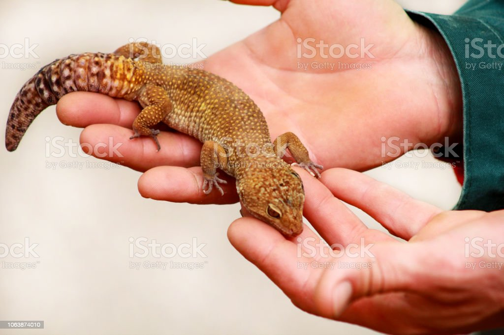 Guy With Gecko Man Holds In Hands Reptile Gecko Common Leopard