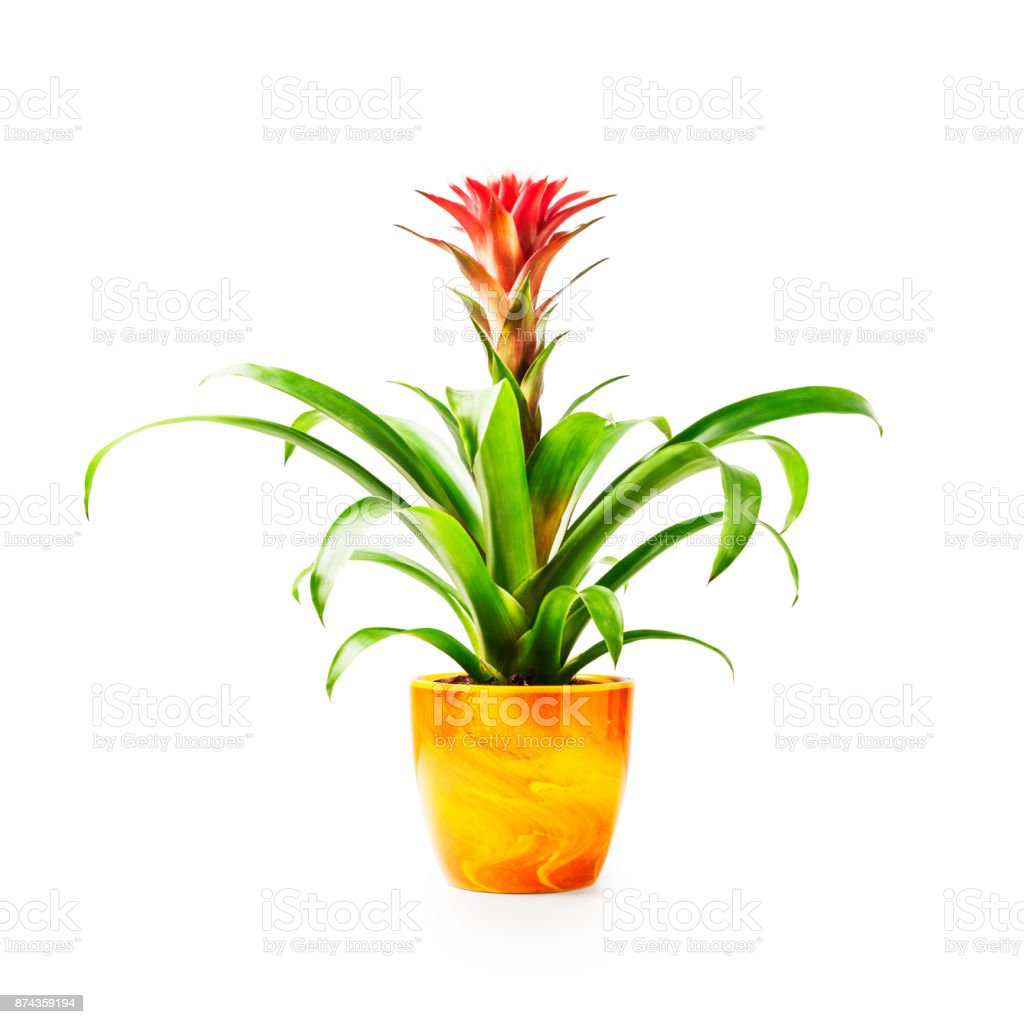 Guzmania planta em vaso de flor - foto de acervo