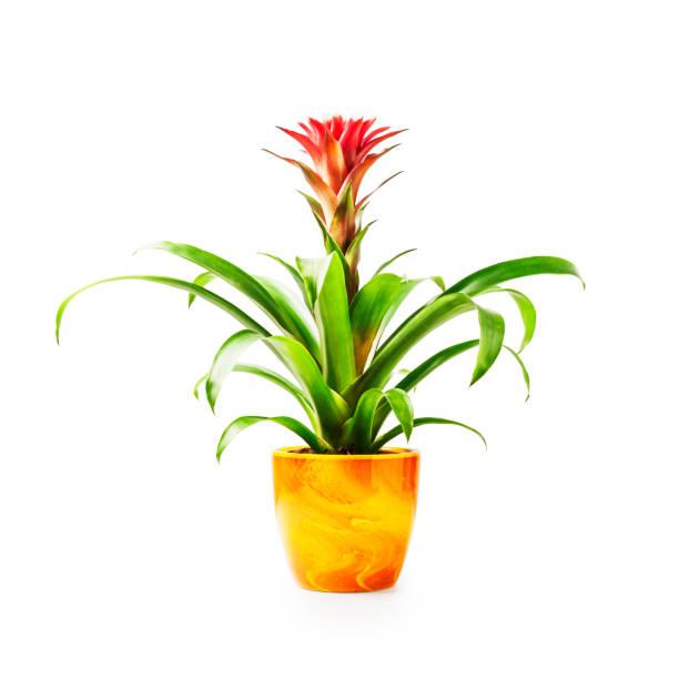 Guzmania  houseplant in flower pot stock photo