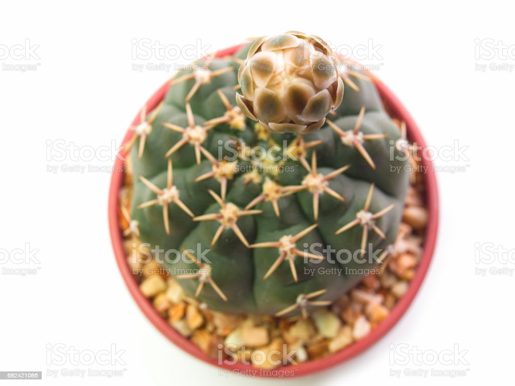 Gymno cactus tree isolated on a white background. royalty-free stock photo