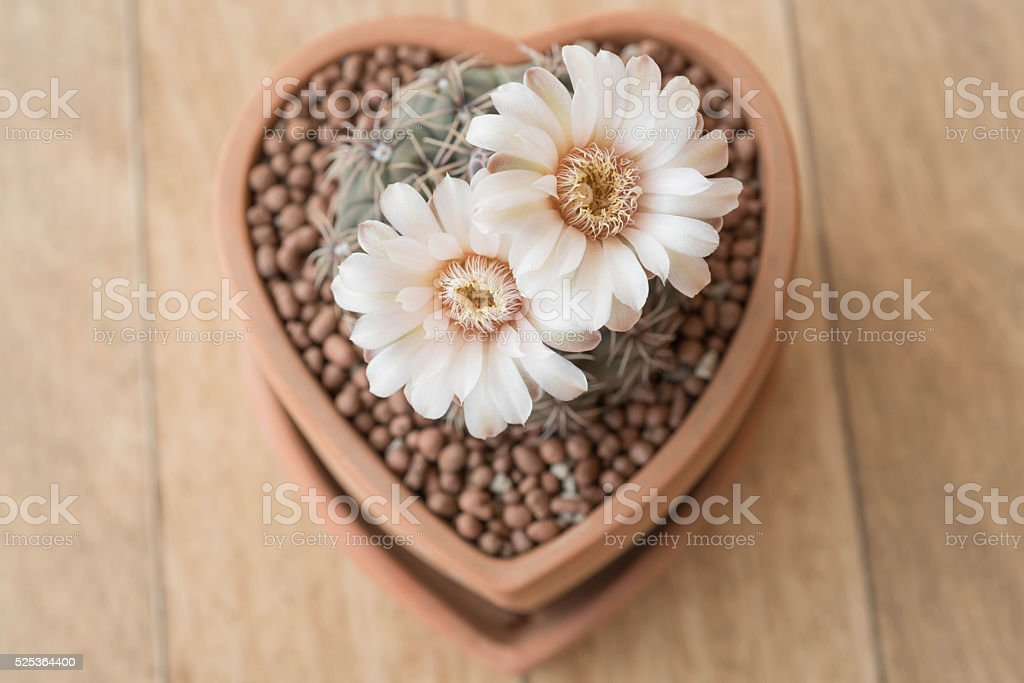 Gymnocalycium cactus flower in clay pot like heart shape stock photo